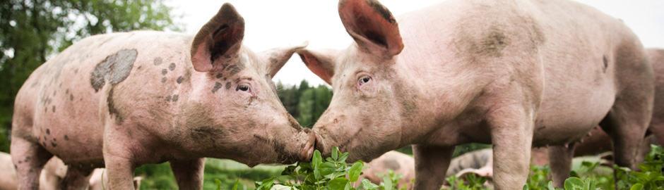 Freilandschwein/Knittel
